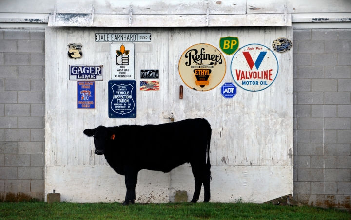 A cow pauses for a moment in front of Tom Burnam's farm early in the morning.