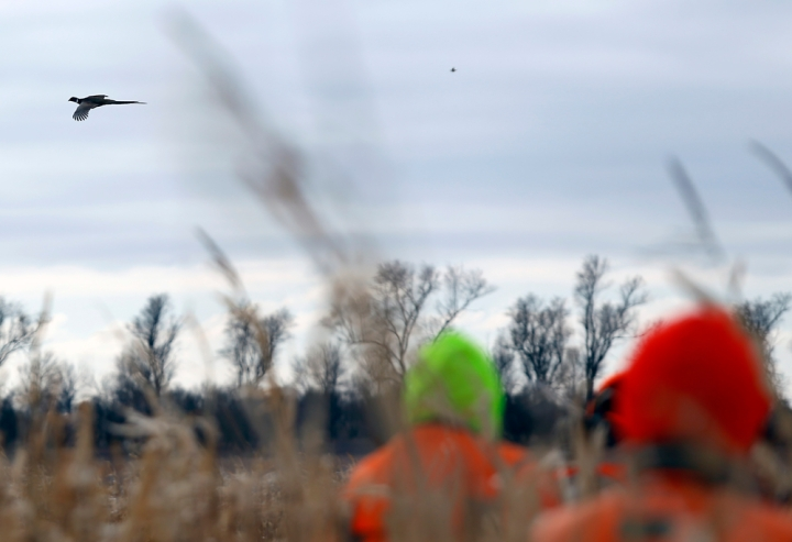 A rooster flies overhead during a hunting trip at Firesteel Creek Hunting Lodge off HWY 281 on Tuesday morning near Plankinton. (Matt Gade/Republic)
