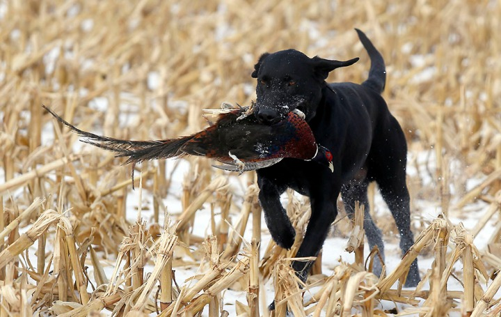 Jack , one of the Firesteel Creek Hunting Lodge dogs, brings a pheasant back during a hunting trip at Firesteel Creek Hunting Lodge off HWY 281 on Tuesday morning near Plankinton. (Matt Gade/Republic)