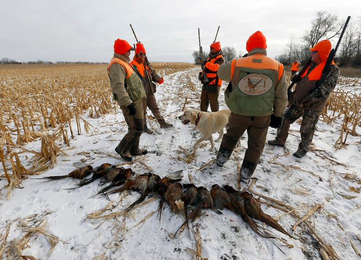 From left, Andy Sehr, Jesse Henderson, Dan Holbrook, Dave Sehr and Jeff Temple gather around their first trip through a field of corn hitting 13 pheasants on that run during a hunting trip at Firesteel Creek Hunting Lodge off HWY 281 on Tuesday morning near Plankinton. (Matt Gade/Republic)