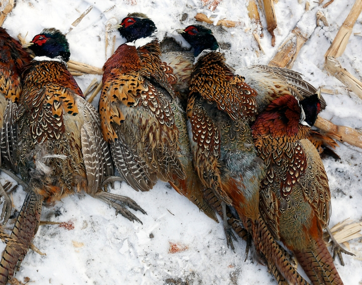 A group of roosters are piled on the ground during a hunting trip at Firesteel Creek Hunting Lodge off HWY 281 on Tuesday morning near Plankinton. (Matt Gade/Republic)