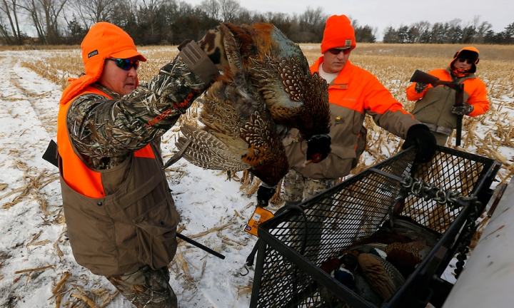 Dan Holbrook, left, Todd Worrell, center, and Terry Erwin load up the pheasants into their basket after their first run through a field of corn during a hunting trip at Firesteel Creek Hunting Lodge off HWY 281 on Tuesday morning near Plankinton. (Matt Gade/Republic)