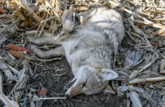 A dead coyote, shot and killed by GF&P wildlife damage specialist Blake Bappe, from a plane lies in the middle of a cornfield east of Howard on Thursday morning. (Matt Gade/Republic)