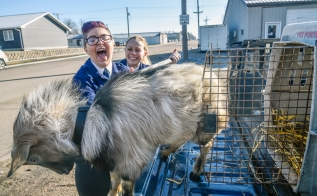"""McCook Central senior Anne Mayrose, left, reacts after saying she got some of the goats hair in her mouth while she and senior Cara Rabenhorst try to get the goat the students nicknamed """"Gilbert"""" into the kennel while taking the goat to various business in Salem as part of their """"Get the Goat"""" fundraiser on Wednesday morning as part of the McCook Central school's FFA activities as part of National FFA Week. (Matt Gade/Republic)"""
