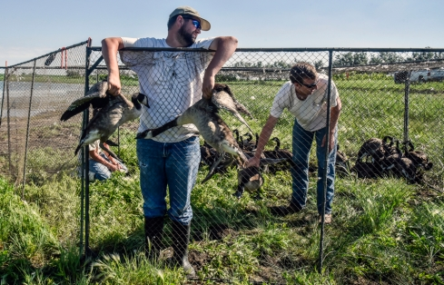Jacob Von Bergen, left, holds a pair of geese for someone to band out of the pen as Troy Davelaar grabs another goose to be banded last week at a lake Northeast of Mitchell. (Matt Gade/Republic)