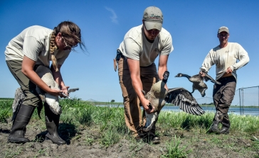Hannah Leeper, left, Ben Sorenson, center, and John Broecher each try to apply a band to a goose to band before being released back into the water last week at a lake Northeast of Mitchell. (Matt Gade/Republic)