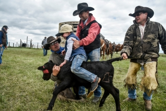 Five-year-old Sage Yost gets help being place on a calf to ride while Dana Ruhnke, left, holds its neck while dad Wade Yost places him down and Jason Fairbanks holds the back tail during the Yost family's annual cattle branding on the Broadaxe Ranch on Friday, May 20 northwest of Gann Valley in Buffalo County. (Published 6-10-2016)