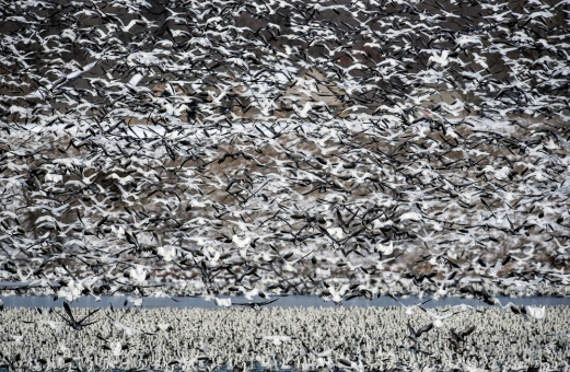 Snow geese hang out around Lake Mitchell on Monday afternoon.
