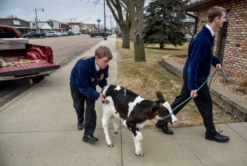 McCook Central seniors Nate Krempges, right, and Cole Schock guide a calf into a local business as part of their Catch the Calf event as one of McCook Central's activities celebrating National FFA week on Thursday in Salem.