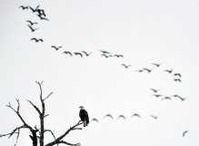 A Bald eagle is perched on a branch as a flock of geese migrate north along the Missouri River just south of the Ft. Randall Damn in the Randall Creek Recreation Area on Monday.