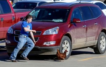 Parkston High School freshman and FFA member Riley Weber chases a loose chicken in the school parking lot while taking part in a petting zoo for Parkston Elementary School students conducted by the Parkston FFA students as part of National FFA Week.